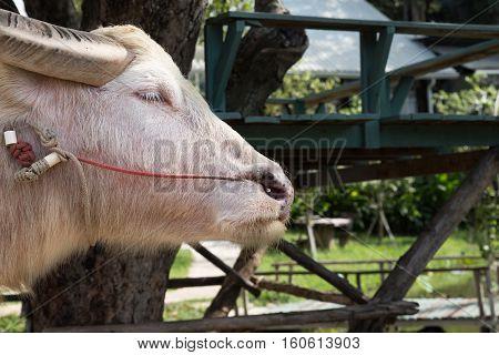 Albino Buffalo In Farm In Thailand