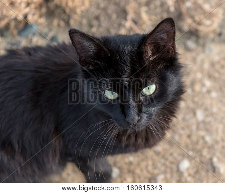 Closeup Portrait of a Black Cat with green eyes