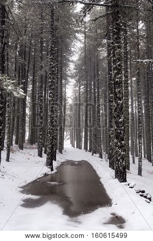Winter forest landscape at Troodos mountains in the island of Cyprus