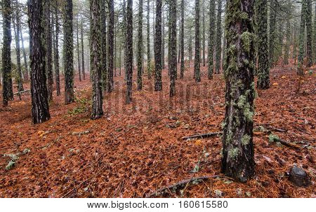 Winter forest landscape at Troodos mountains with orange plants on the ground in the island of Cyprus