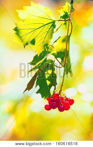 Viburnum ordinary (lat.Viburnum). Viburnum berries in backlight autumn light