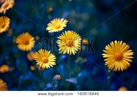 camomile. chamomel, daisy chain, daisy wheel. an aromatic European plant of the daisy family, with white and yellow daisylike flowers.
