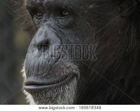 face to face with the African chimpanzee