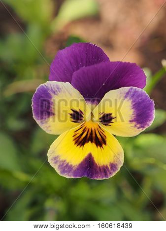 The buds of flowers pansies. Floriculture. Macro. Gardening.
