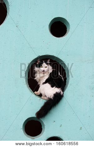 black and white long-haired cat sits in the hole on a turquoise wall