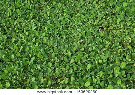 Green duckweed in the canal, water hyacinth block water flow