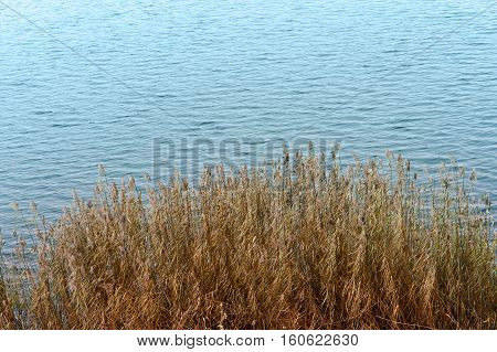 dry grass in pond autumn grass withered and became yellow