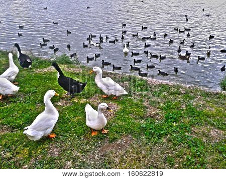 White ducks and black ducks welcome next to the lake, while a group of black ducks swim and float on the lake