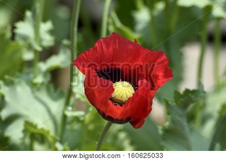 Vibrant red flower blooming at garden background