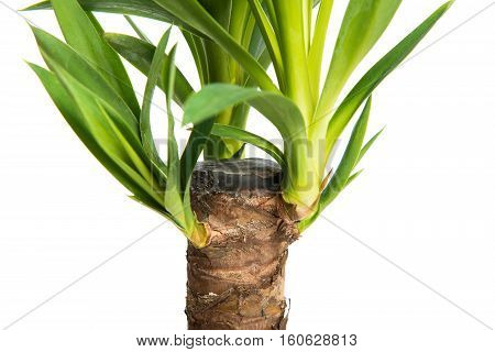 Houseplant Yucca A potted plant isolated on white background