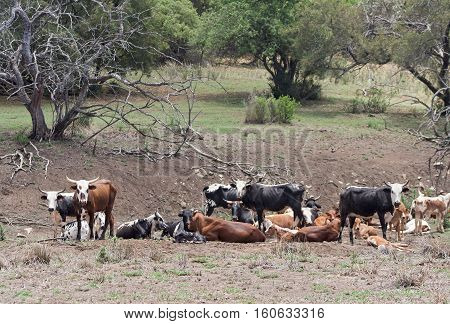 Cattle herd on a farm near Rustenburg, South Africa