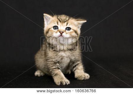 Attentive funny kitten. Portrait of a gentle kitten on a black background. Cute pet cat kitten tabby color. British cat close.