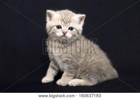 Look beautiful kitten. Portrait of a gentle kitten on a black background. Cute home kitten peach color. British cat close.