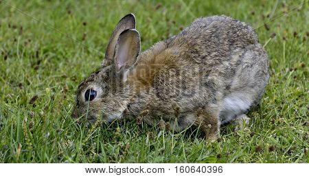 Unscared wild rabbit in the nature. Nature. Wildanimal.Wildlife