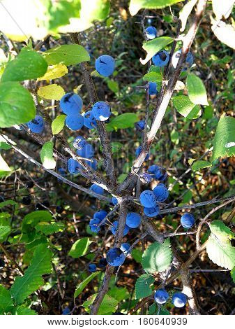 Tart blue bramble berries are a means of traditional medicine.