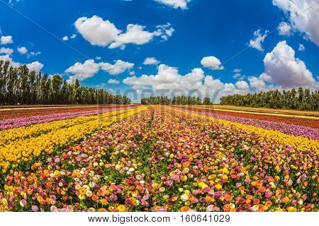 Farm field of beautiful flowers garden buttercups. Walk on a sunny day. The concept of eco-tourism