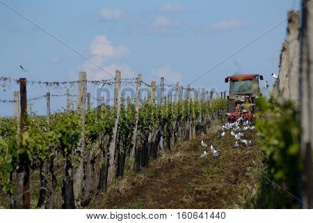 Tractor working wine growing area birds looking on the ground