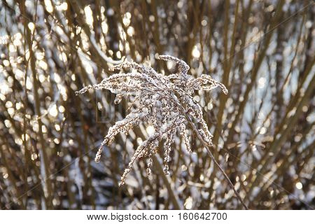 sear european goldenrod (Solidago virgaurea) covered with snow in winter