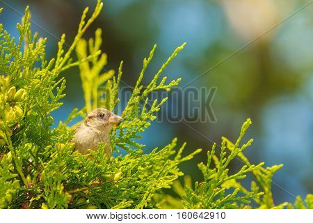 Flora and fauna concept. Little brown bird sitting on green healthy thuja. Flying animal in natural environment.