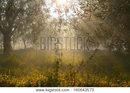 RURAL LANDSCAPE.Field with olive grove backlit wrapped in the mist. Italy,Apulia.