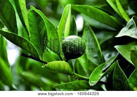 Mandarin, tangerine, mandarine, green Mandarin, Abkhazian tangerine, unripe tangerine, tangerine tree