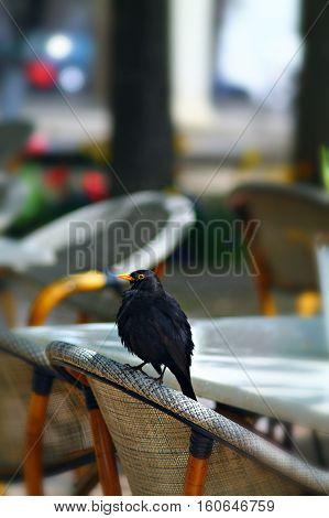 Jung common blackbird (Turdus merula) Eurasian blackbird seating on chair in street cafe. Shallow focus background.