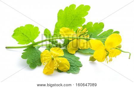 Greater celandine flower, swallowwort isolated on white background.