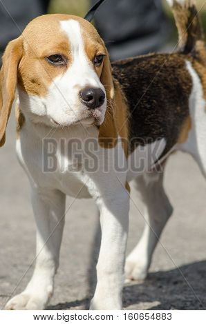beagle dogs for a walk. Beagle dog walking with its owner on the street.