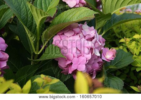 Hydrangea inflorescence with small flowers and rose petals on the bush with green leaves