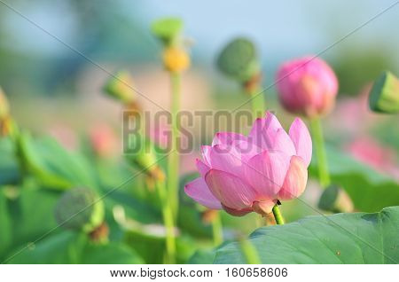 Komarov lotus relict Tertiary species can be found in the Primorsky Krai, Russia. According to Hinduism the lotus is the foremost symbol of beauty prosperity and fertility