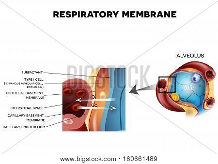 Alveolus And Respiratory Membrane Detailed Anatomy