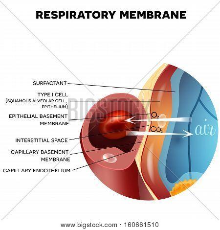 Respiratory Membrane Of Alveolus