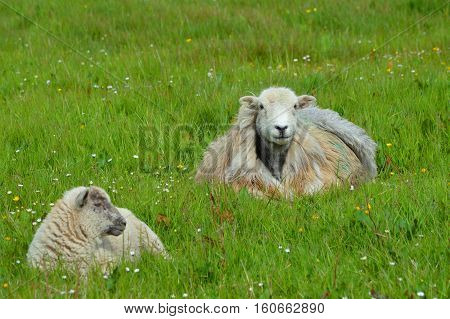 Ewe and Lamb lying in the Grass