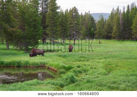 Two Bison grazing in Yellowstone National Park