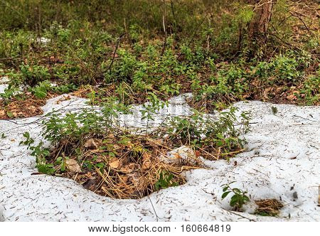 Lingonberry appeared from under the snow, spring day