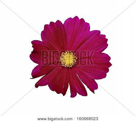 Flower of red cosmos isolated on white background