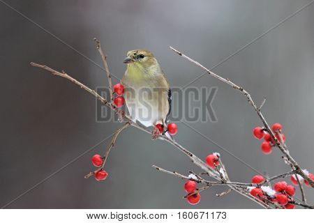 Winter goldfinch (Carduelis tristis) perching on winterberry branches.