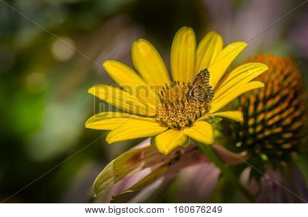 Monarch butterfly sitting on a rudbeckia bright yellow sunflower in the flower garden.
