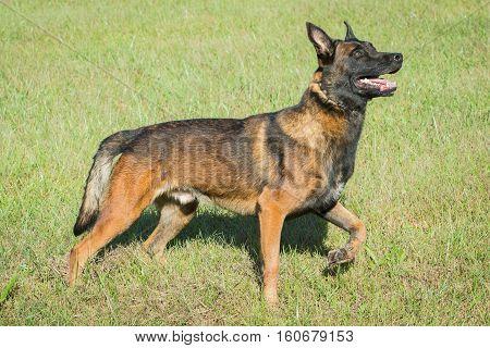 Belgian Malinois police dog in a field