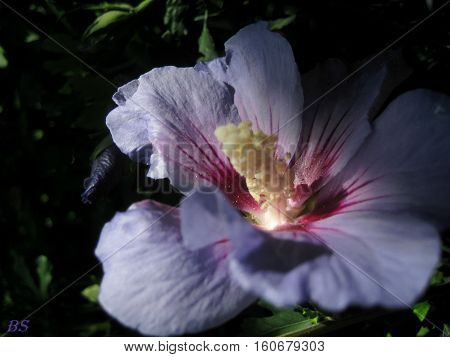 photo macro flower Hibiscus purple hues with velvety petals in a decorative form for use in horticulture and ornamental landscape as a source for fine art printing and design
