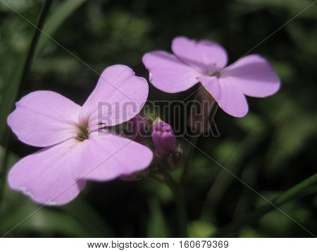 photos with flowers forest wild herbaceous plants - Lunarians come to life with delicate light purple petals as the source for design and print