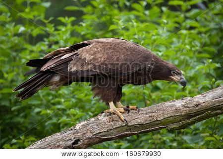 Female bald eagle (Haliaeetus leucocephalus). Wildlife animal.