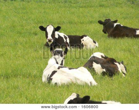 Holsteins Taking A Nap