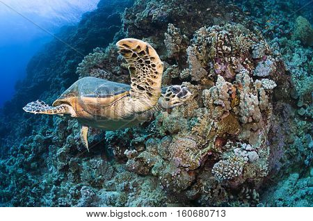 Handicapped sea turtle, Eretmochelys imbricata, checking the reefs of Marsa Alam, Red Sea.
