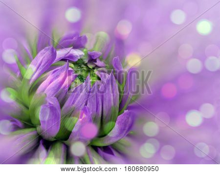 purple-pink blurred background dahlia flower. flower on the blurred background. floral composition. floral background. Nature.