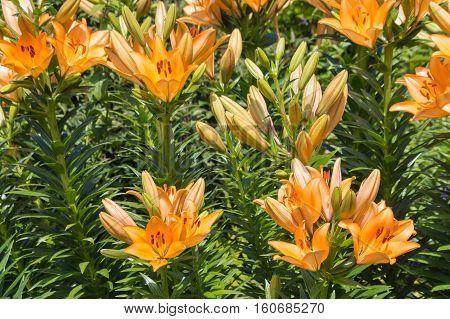 Lilium bulbiferum - orange lily flowers in garden