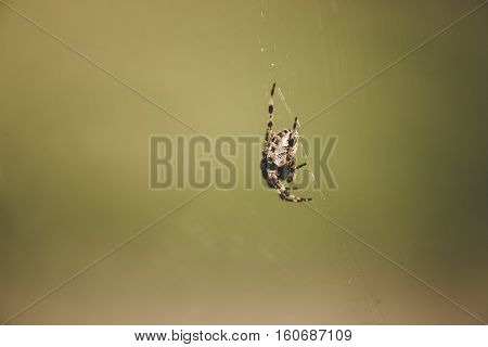 Large Orb Weaver spider on web with blurry background.