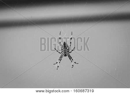Large orb weaver spider on web. Photo in black and white.