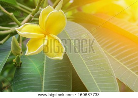 Plumeria flowerDesert Rose. beautiful yellow Plumeria on the tree. or Impala Lily flower. ( Common name ApocynaceaeFrangipani Pagoda tree Temple tree )