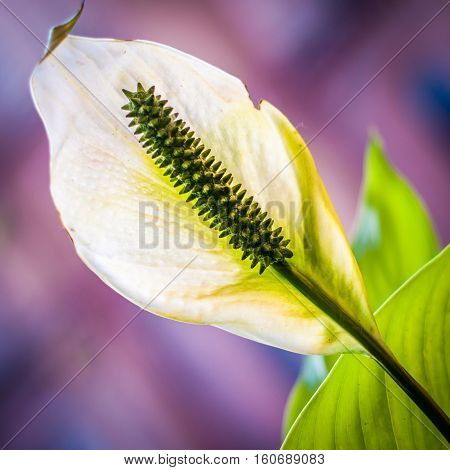 Flower close up. Peace lily macro. Single petal flower.